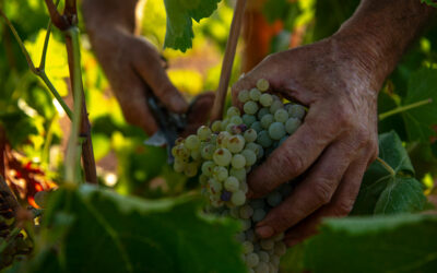 Nueva temporada de vendimia en Bodegas Naranjo